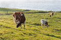 Three red spotted white cows in a sunny meadow Stock Photos
