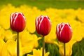 Three red tulips Stock Images
