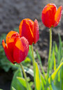 Three red tulips closeup of in the garden of the village Royalty Free Stock Photo