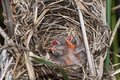 Three Red-winged blackbird hatchlings begging for food Royalty Free Stock Photo