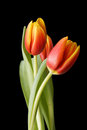 Three red-yellow tulip flowers isolated on black background