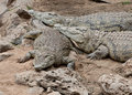 Three resting Nile crocodiles in Kenya. Stock Images