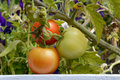 Three ripening tomatoes on bush close up Royalty Free Stock Photography
