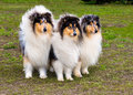 Three rough сollies ahead the collie seats on the grass in the park Royalty Free Stock Image