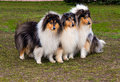 Three rough сollies sees right the collie seats on the grass in the park Royalty Free Stock Photo