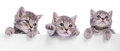 Three Scottish kitten Royalty Free Stock Photo