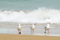 Three seagulls walking in water of surf beach a small flock enjoying the waves sea and the beautiful white sandy tropical Royalty Free Stock Images