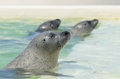 Three seals relax after a nice meal of fresh fish Royalty Free Stock Photo