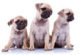 Three seated pug puppy dogs Royalty Free Stock Photo