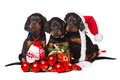 Three serrers puppies over white xmas setters on horizontal Stock Photos