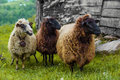 Three sheep on a farm looking left Royalty Free Stock Image