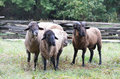 Three sheep a group of looking at something Royalty Free Stock Images