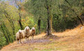 Three sheeps in a olive grove standing Royalty Free Stock Images