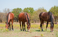 Three shiny bay horses grazing Royalty Free Stock Photo