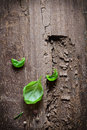 Three single fresh green basil leaves section old gouged wood copyspace Stock Image