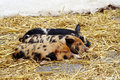 Three sleeping piglets Stock Photography