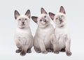 Three small thai kittens Stock Images