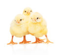 Three small yellow chickens standing isolated on white Royalty Free Stock Photo
