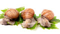 Three snail crawling on the grape leaves white background Royalty Free Stock Photo