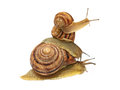 Three snails. Stock Photography