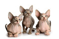 Three sphinx kitten Royalty Free Stock Photo