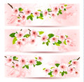 Three spring banners with blossoming sakura brunch Royalty Free Stock Photos
