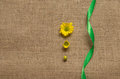 Three stages of flowering daisies - camomiles. on the burlap Royalty Free Stock Photo