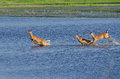 Three Startled Deer Running Through the Water Royalty Free Stock Photography
