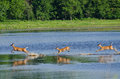 Three Startled Deer Running Through the Water Royalty Free Stock Images