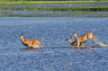 Three Startled Deer Running Through the Water Stock Photos