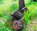 Three stump from felled birch trees in forest . Royalty Free Stock Photo