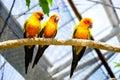 Three sun conures perching branch Stock Image