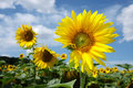 Three sunflower blossom under sky Stock Image