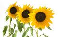 Three sunflowers isolated on white background Stock Images
