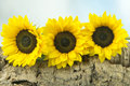 Three sunflowers on a wooden log Royalty Free Stock Photo