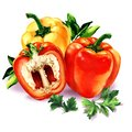Three sweet red yellow peppers, green leaves parsley, bell pepper, fresh vegetables isolated, watercolor illustration