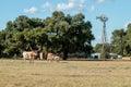 Three Texas Longhorns Royalty Free Stock Photo
