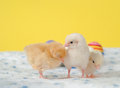 Three tiny Easter chicks Royalty Free Stock Photography