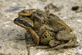 Three toads on the road during toad migration amphibians pull or is phenomenon that occurs every year by a number of amphibian Stock Photography
