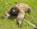 Three toe sloth crawling in grass,costa rica Stock Photography