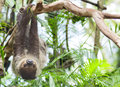 Three toed sloth brown throated bradypus Royalty Free Stock Photos