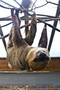 Three toed sloth finny and nice Stock Photography