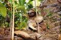 Three-toed sloth on the ground Stock Photos