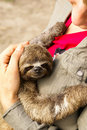 Three toed sloth in the iquitos peru Royalty Free Stock Image