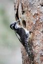 Three toed woodpecker picoides tridactylus single female at nest Stock Image