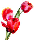 Three tulips flowers watercolor illustration Royalty Free Stock Photo