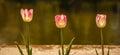 Three tulips. Royalty Free Stock Photo