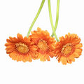 Three vibrant orange gerberas Stock Photography