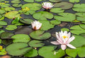 Three water lilies white in pond Stock Photography