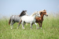 Three welsh ponnies moving nice young on the pasturage Royalty Free Stock Photo